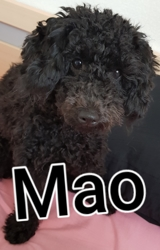 Mao, chien Caniche