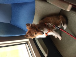 Maom, chien Berger des Shetland
