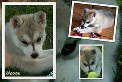 Moana, chien Husky sibérien