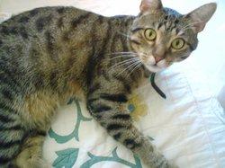 Maou, chat Européen