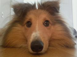 Mappy, chien Berger des Shetland