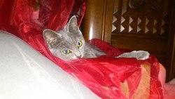Mara, chat Européen
