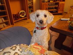 Mara, chien Caniche