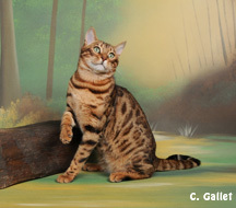 Maracaja Goliath, chat Bengal