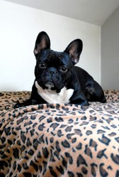 Marcel, chien Bouledogue français