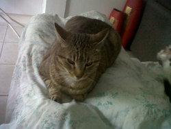 Marcel, chat Européen