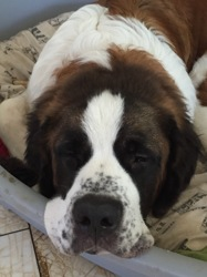 Marcel, chien Saint-Bernard