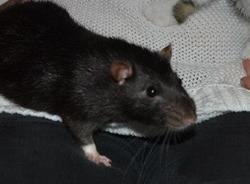 Marcus, rongeur Rat