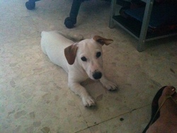 Marcus, chien Jack Russell Terrier