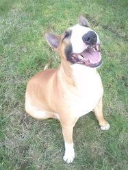 Marcus, chien Bull Terrier