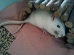 Marge  Dcd, rongeur Rat