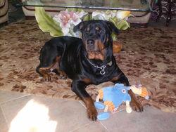Margo, chien Rottweiler