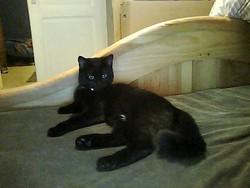 Margo, chat Européen