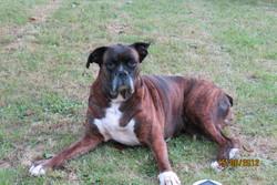 Margot, chien Boxer