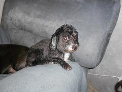 Margot, chien Caniche