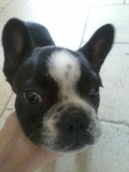 Margot, chien Bulldog
