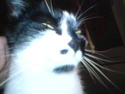 Margot, chat Européen