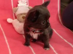 Margotte, chiot Chihuahua