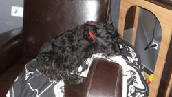 Marguerite, chien Scottish Terrier