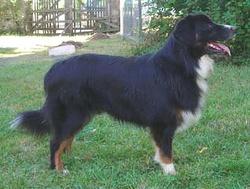 Maria, chien Berger australien