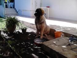 Maria, chien Berger du Caucase