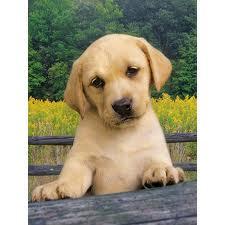 Marie, chien Labrador Retriever