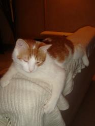 Marin, chat Européen