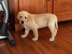 Marin, chiot Labrador Retriever