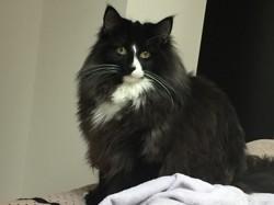 Marinov, chat Norvégien