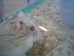 Maritza Rip, rongeur Hamster