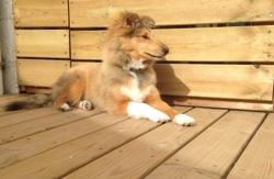 Marius, chien Berger des Shetland