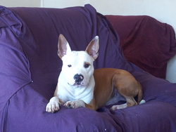 Marius, chien American Staffordshire Terrier