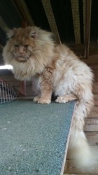 Markiss, chat Maine Coon