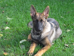 Markus, chien Berger allemand