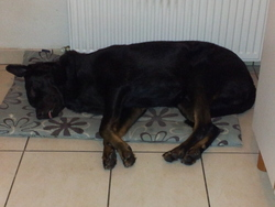 Marlay, chien Beauceron