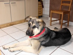 Marley, chien Berger d'Anatolie