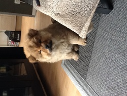 Marley, chien Chow-Chow