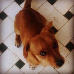 Marley, chien Teckel