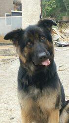 Marley, chien Berger allemand