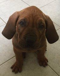 Marley, chien Fila brasileiro