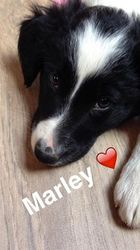 Marley, chien Border Collie