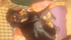 Marley, chien Beauceron