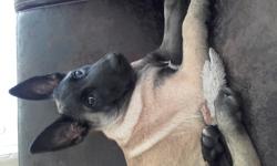 Moonshine, chien Berger belge