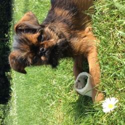 Marley, chien Griffon bruxellois