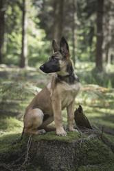 Marley, chien Berger belge