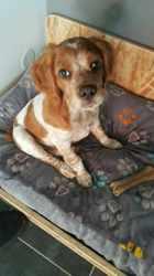 Marley, chien Épagneul breton