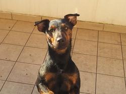 Marley, chien Jagdterrier