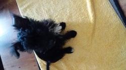 Marley, chien Yorkshire Terrier