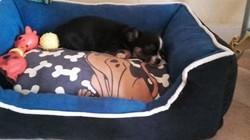 Marley, chien Chihuahua