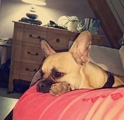Marley, chien Bouledogue français